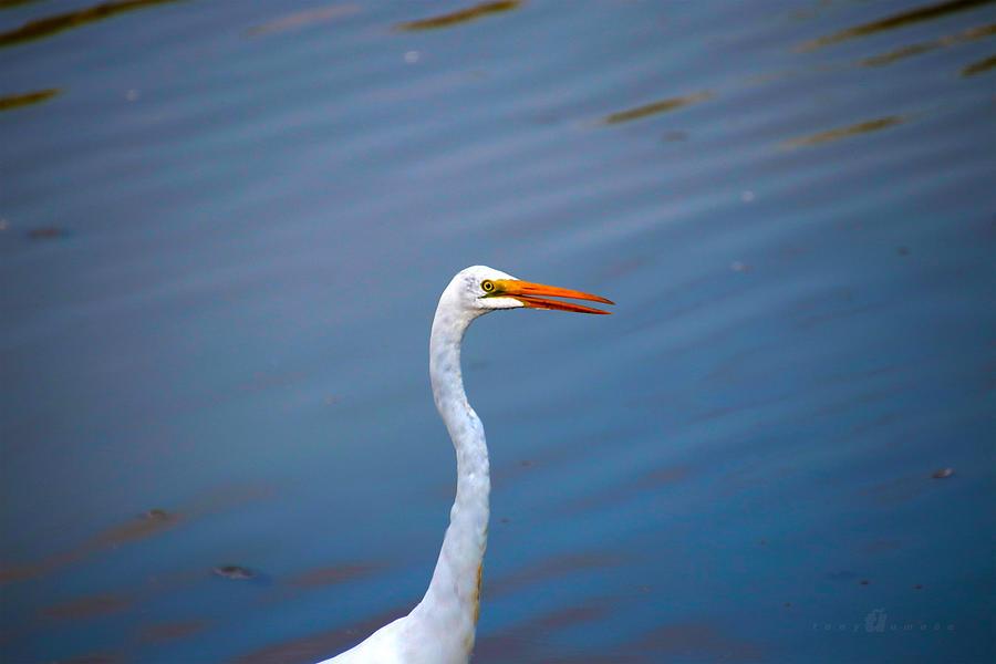 Long Neck Photograph by Tony Umana