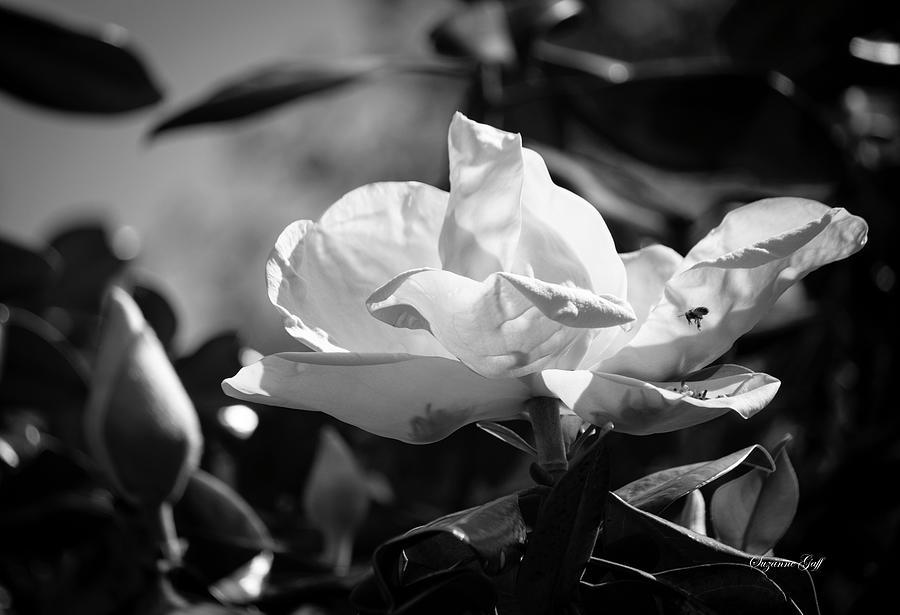 Magnolia Grandiflora IIi - Black And White Photograph