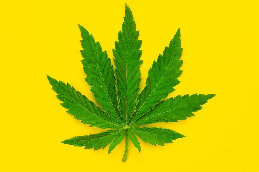 Marijuana leaf on a yellow background. Photograph by Anton Petrus