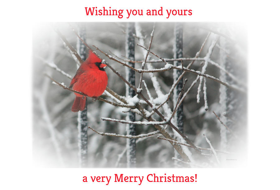 Merry Christmas Cardinal by Diane Lindon Coy