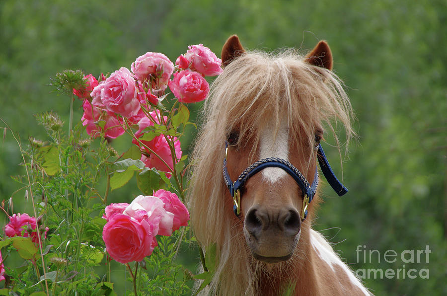 Mini Horse With Pink Roses Photograph