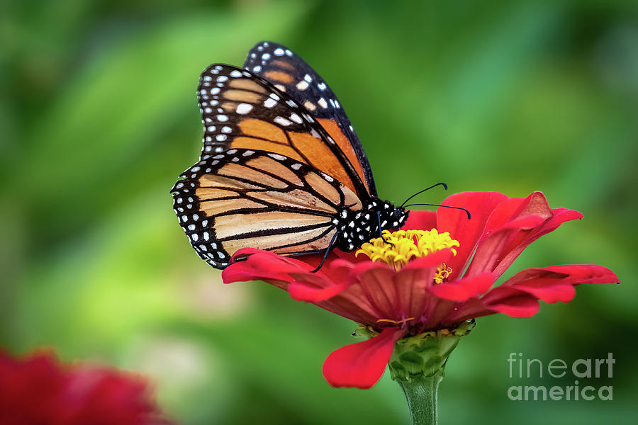 Monarch Butterfly Perched On A Red Flower Photograph