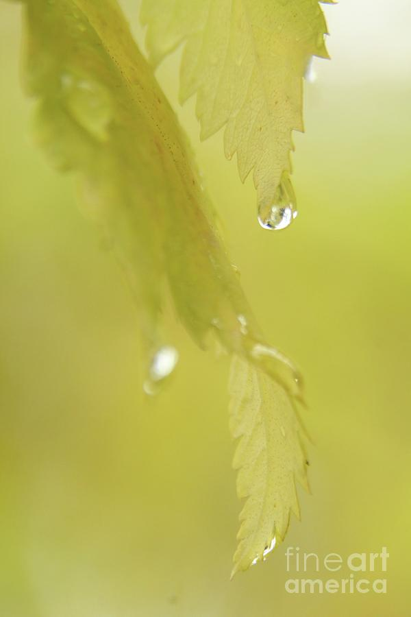 Close Ups Photograph - Morning Dew by Roland Stanke