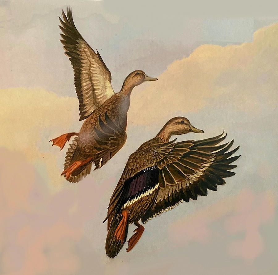 Ducks Painting - Mr. and Mrs. Black Duck by William Ravell