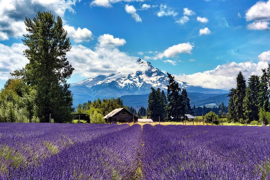 Mt Hood Lavender Field by Harold Carlson