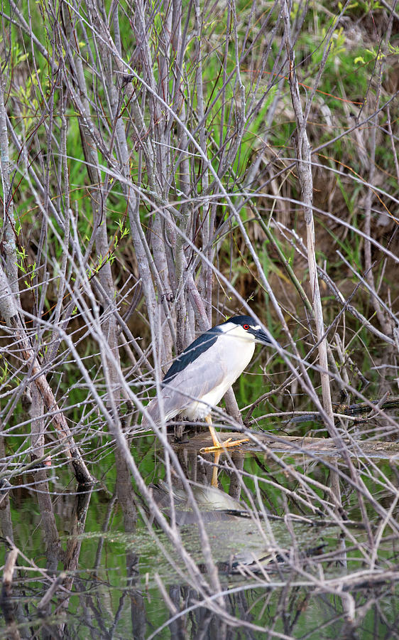 Night Heron Photograph