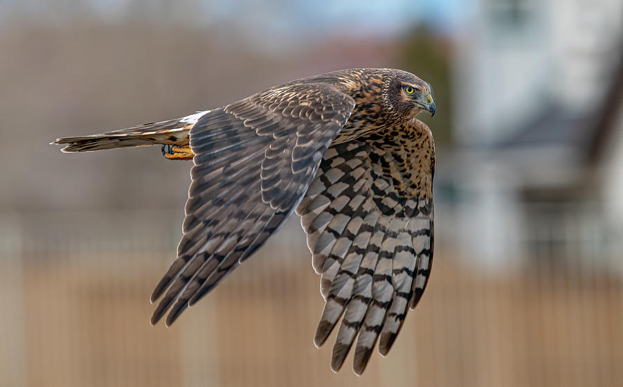 Northern Harrier by Rick Mosher