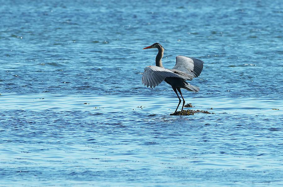 Ocean Heron Ardea herodias by Sharon Talson