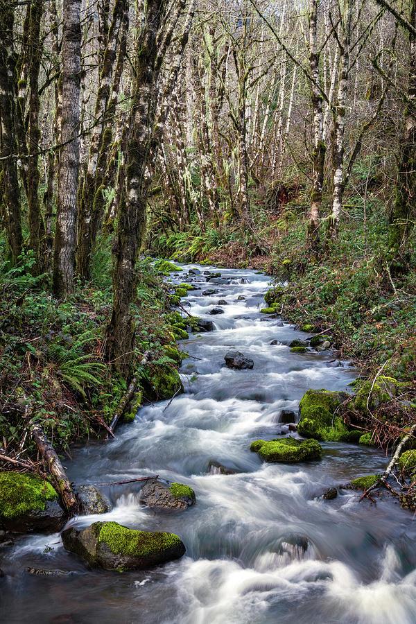 Oregon Photograph - Oregon Mountain Stream and Alder Trees by Catherine Avilez