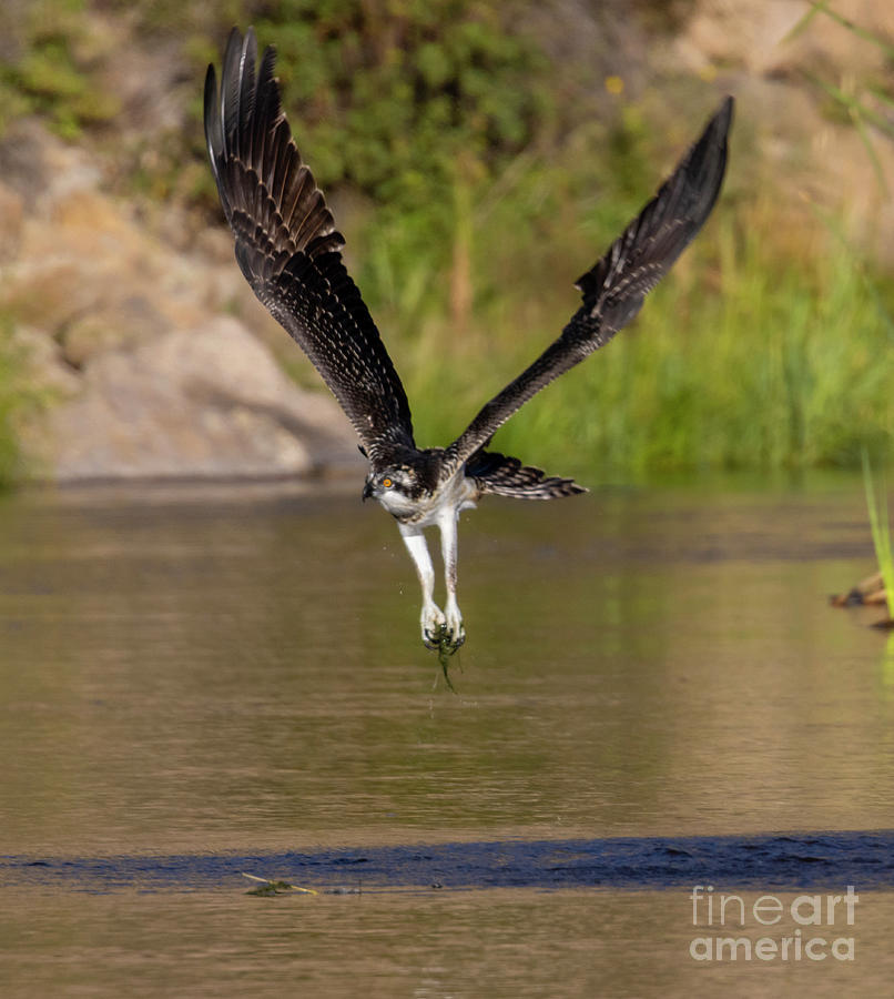 Osprey Fishing In Eleven Mile Canyon Photograph