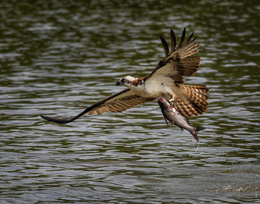Osprey Photograph - Osprey Fishing by John Roach