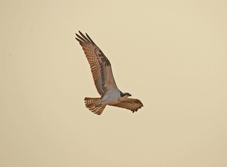 Osprey In Flight Photograph