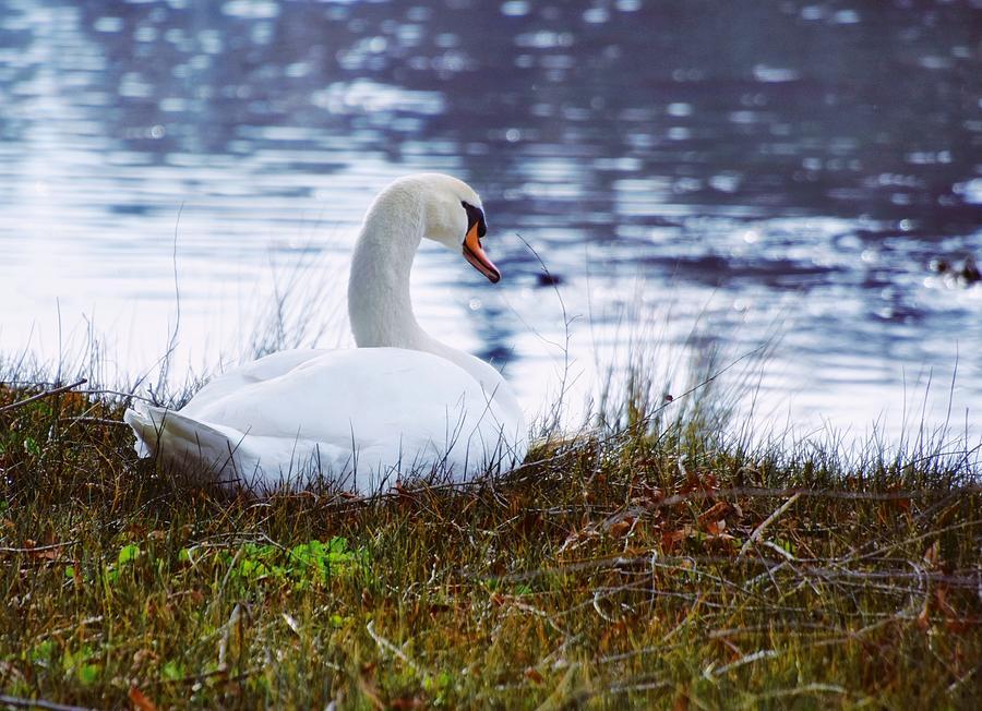 Peaceful Swan by Steph Gabler