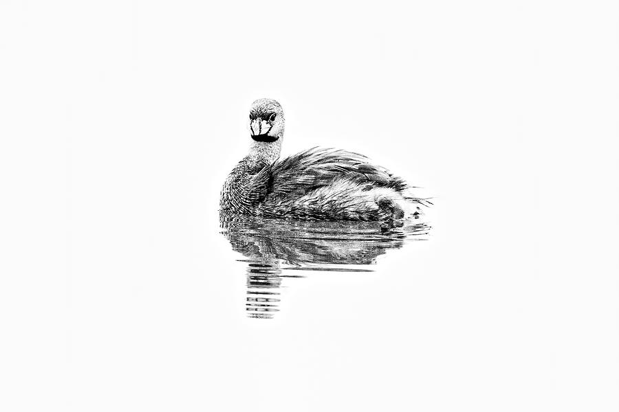 Pied-billed Grebe in BW white background by Perla Copernik