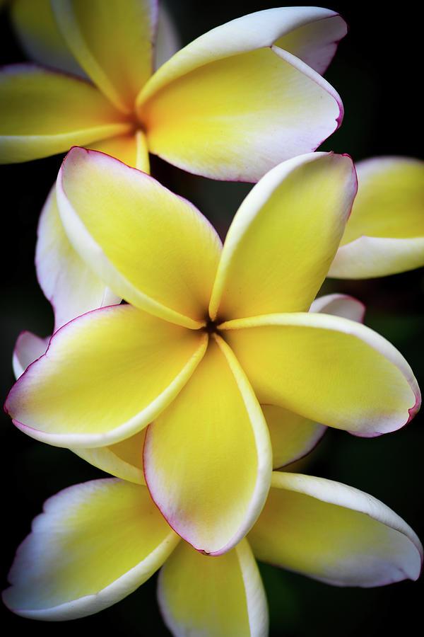 Plumeria Delight Photograph