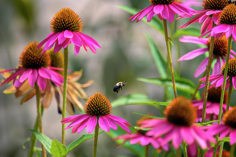 Purple Cone Flowers With Bumble Bee Photograph