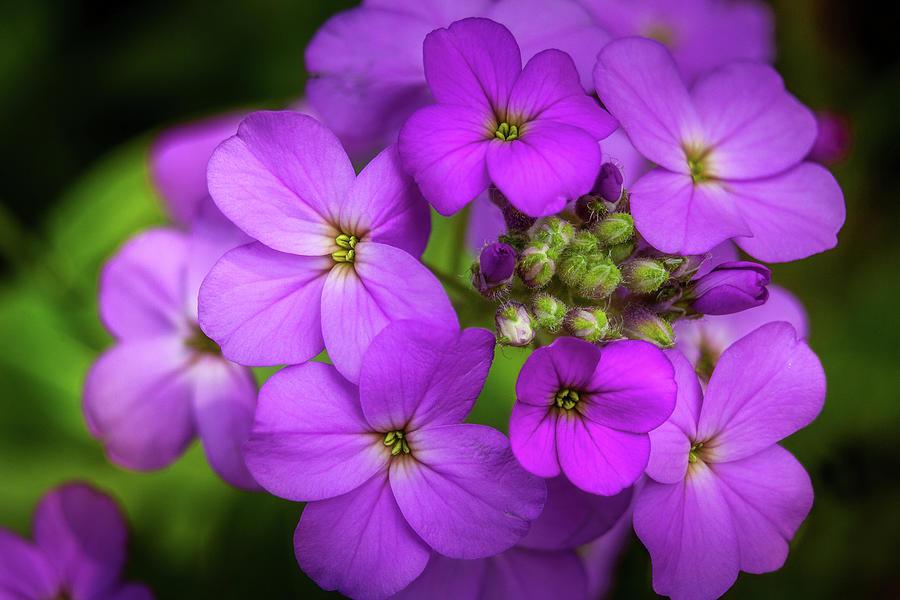 Purple Wildflowers Photograph