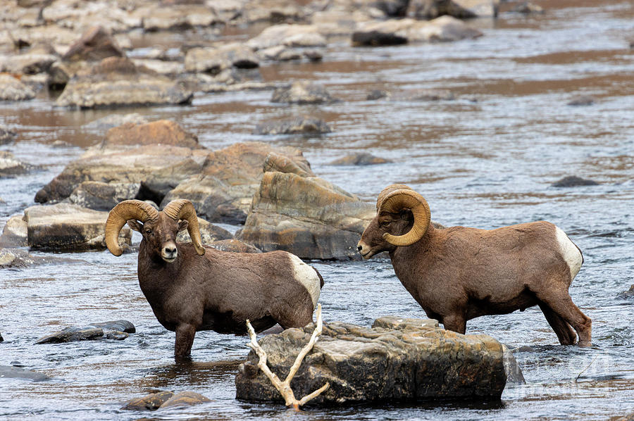 Rams In The River Photograph