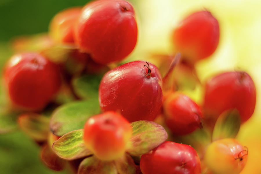 Red Berry Hypericum With Green Leaves In Bouquet Photograph