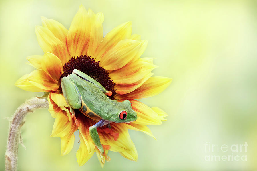 Red Eyed Tree Frog On A Sunflower Photograph