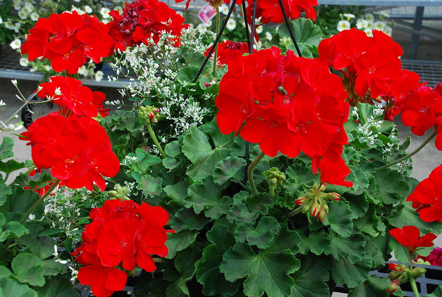 Red Geraniums Photograph