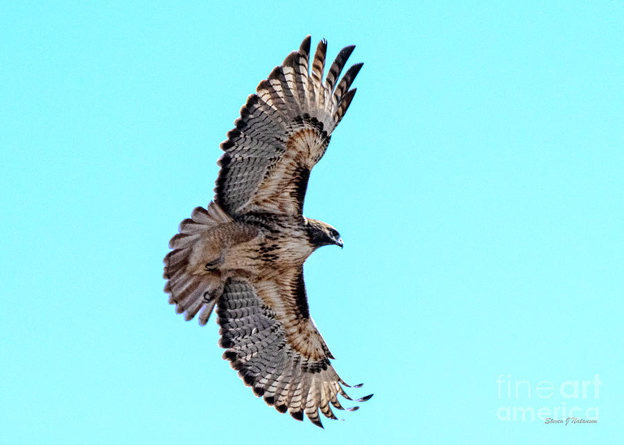 Red Tailed Hawk by Steven Natanson