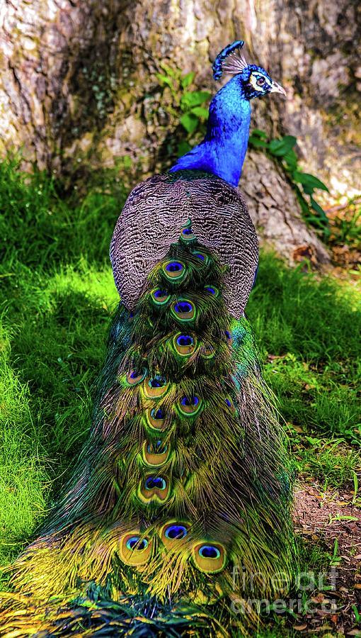 Regal Peacock Bird by D Davila