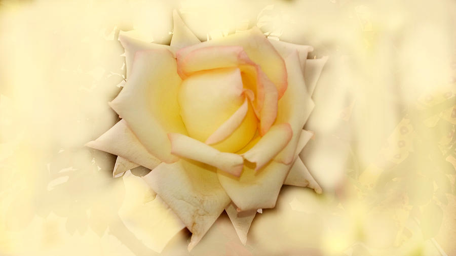 Rose In White And Yellow Photograph