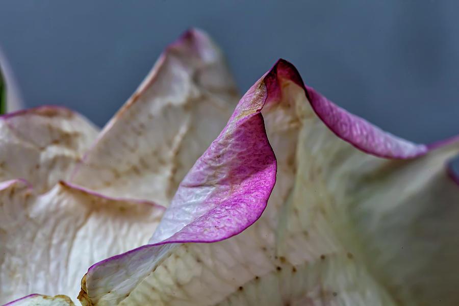 Rose Petals Photograph