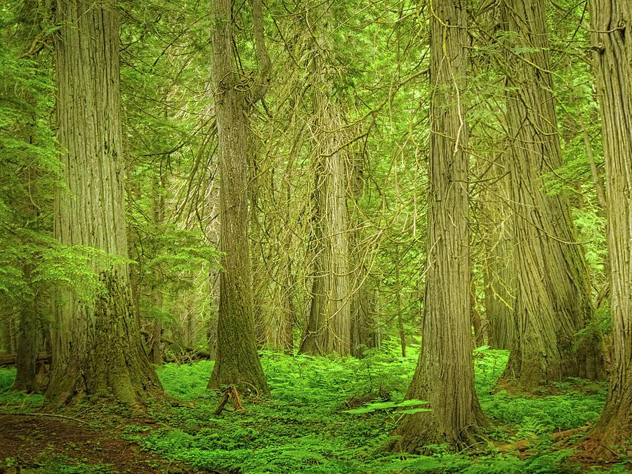 Ross Creek Cedars Photograph