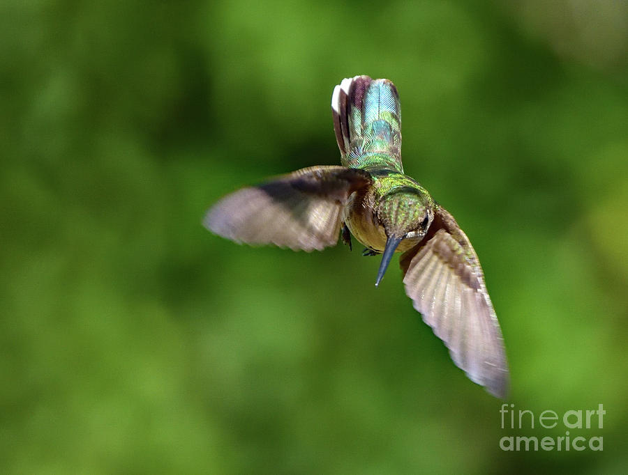 Ruby-throated Hummingbirds Iridescent Beauty Photograph