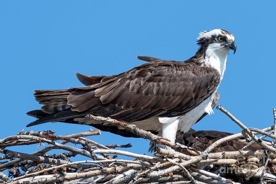 Osprey Ruffled Feathers Photograph