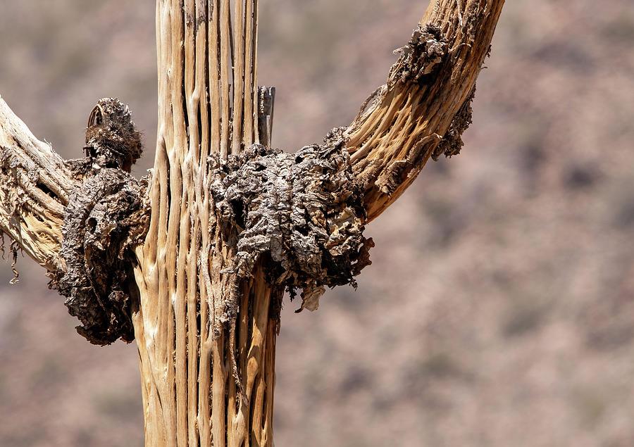 Saguaro Skeleton Photograph