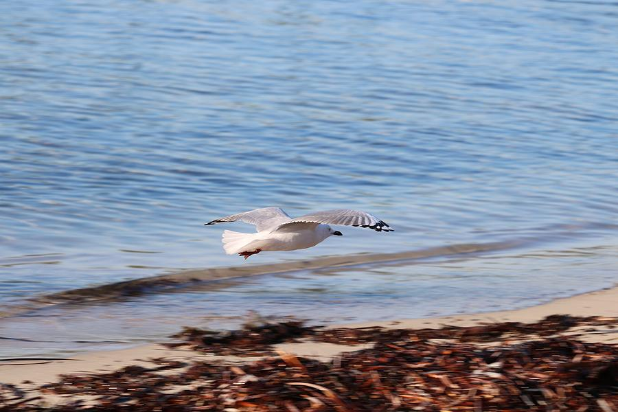 Seagull Flight Photograph