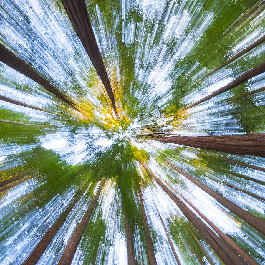 SEQUOIA - SEQUOYA (Sequoia sempervirens) Photograph by Juan Carlos Munoz