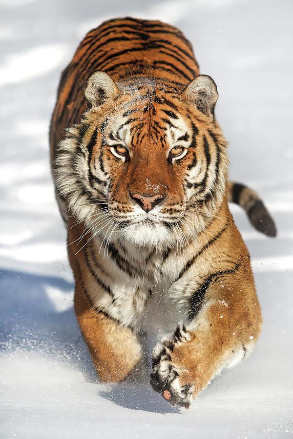 Siberian Tiger Coming Forward Photograph