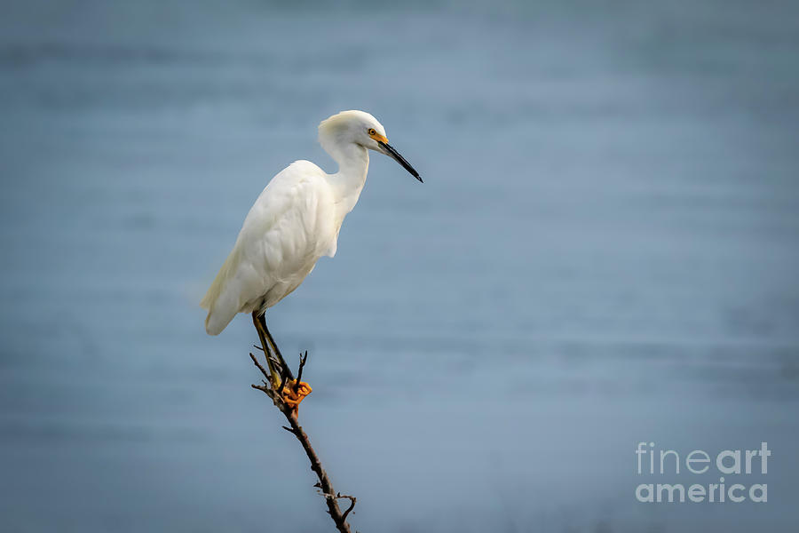 Snowy Egret Perched On Branch Over Water Photograph