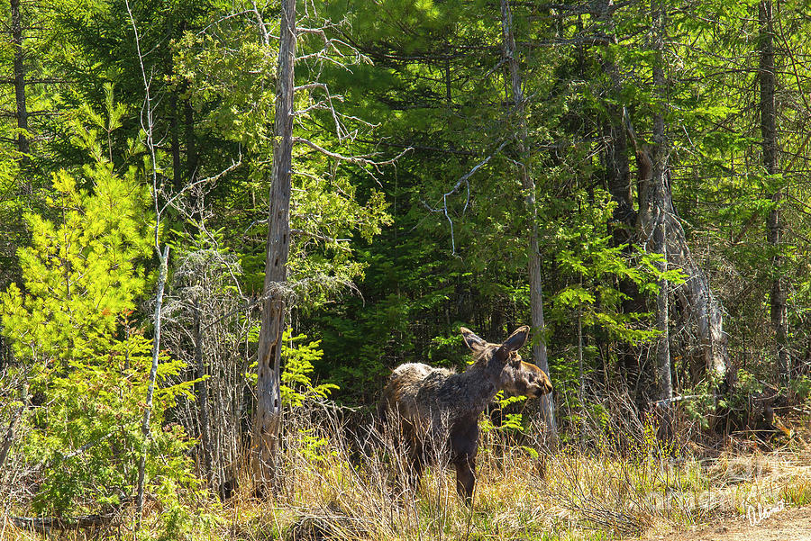 Spring Moose Photograph