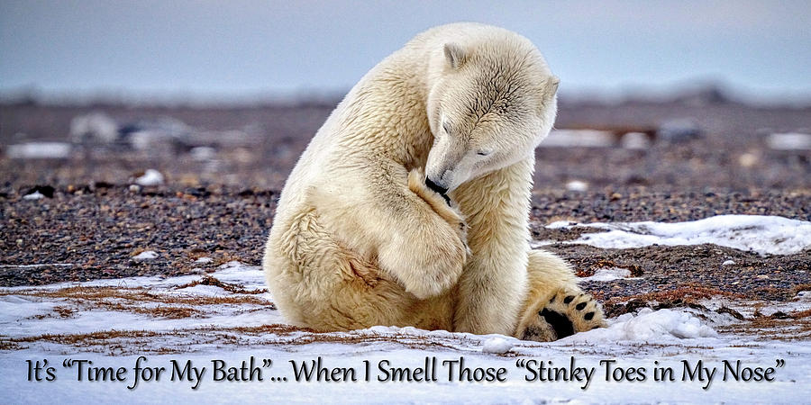 Polar Bear Photograph - Stinky Toes In My Nose - Optimized For Towels - by Brant Bady - The Wandering Honeybadger