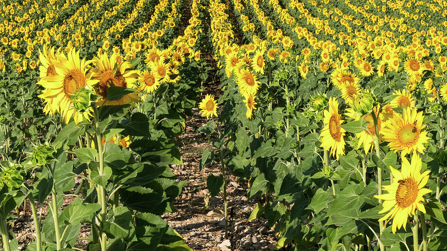 Sunflowers In Provence Photograph