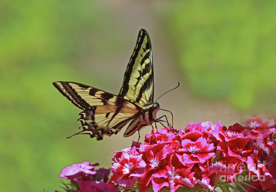 Swallowtail Photograph - Swallowtail by Gary Wing