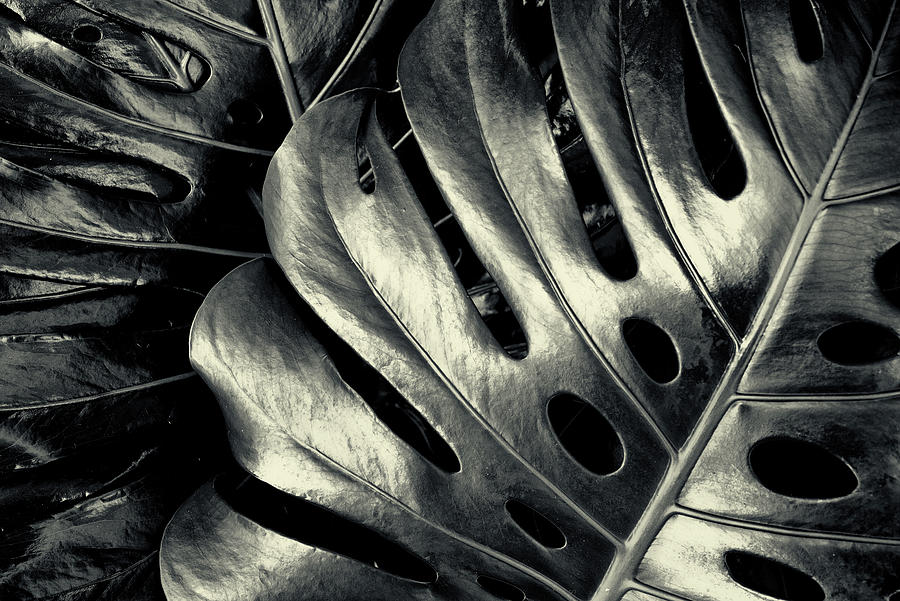 Swiss Cheese Plant in Black and White by John Williams