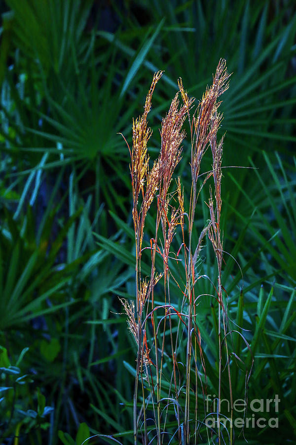 Tall Grass in Sunlight by Tom Claud