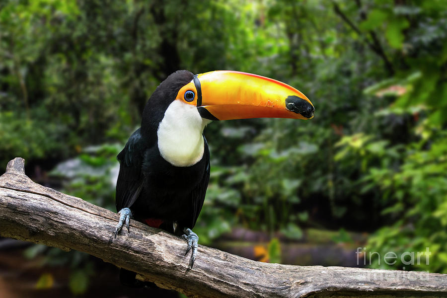 Toco Toucan by Arterra Picture Library