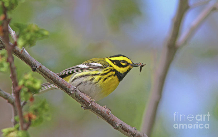 Townsends Warbler Photograph - Townsends Warbler by Gary Wing