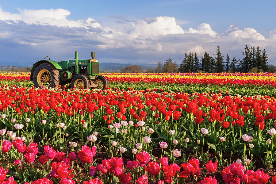Tractor And Tulips Photograph