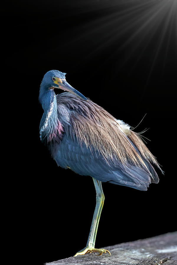 Tricolored Heron by Perla Copernik