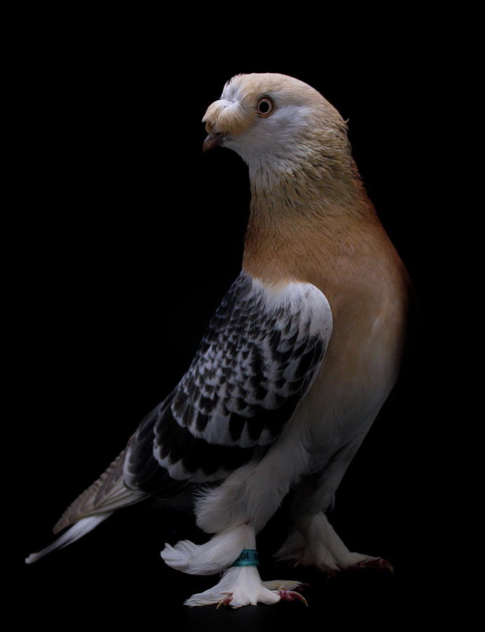 Turkish Takla Pigeon by Nathan Abbott
