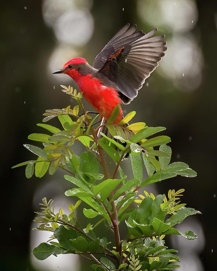 Vermilion Flycatcher Hacienda Guadalajara Palmira Colombia by Adam Rainoff