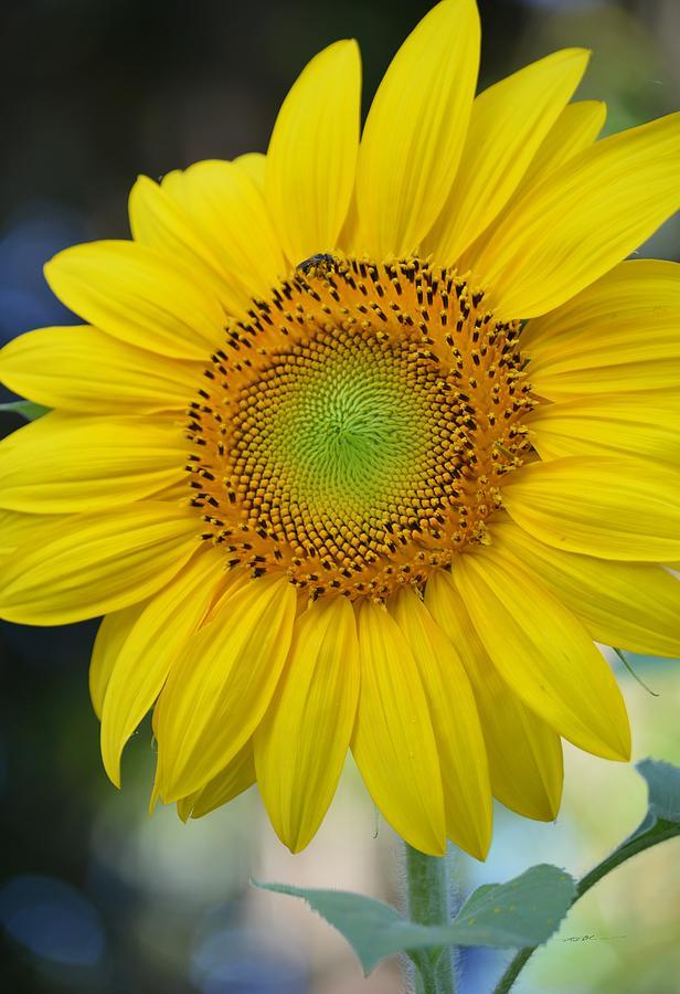 Vertical Sunflower Photograph